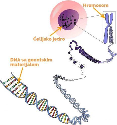 Genetski poremecaji - DNA - Hromosomi - celijsko jedro