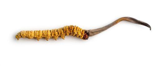 Medicinska gljiva kordiceps u gusjenici